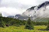 Elan femelle en montagne en été en Alaska
