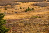 Elan mâle en automne Glen Alps en Alaska