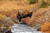 Elan mâle au bord d'une rivière Glen Alps en Alaska
