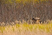 Jeune Elan mâle en automne Glen Alps en Alaska