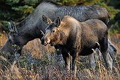 Elan femelle et son jeune Glen Alps en Alaska