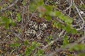 Eurasian Golden Plover nest with eggs Utsjoki Finland