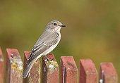 Spotted Flycatcher Utö island Finland