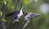 Barn Swallow feeding its young in Sipoo Finland