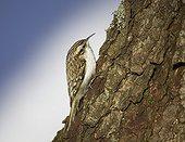 Eurasian Treecreeper on a tree Helsinki Finland