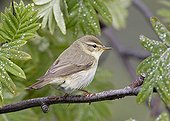 Willow Warbler on a branch in the Utö island Finland