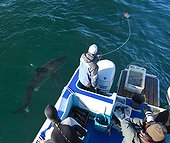 Great White Shark near a boat in False Bay South africa