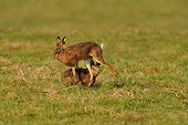 Bouquinage of hares in Europe in a field Normandy France