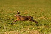 European hare in a field during bouquinage France