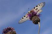 Apollo on a flower of twistle Gotland Sweden