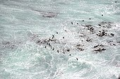Cape cormorants in the surf of South Africa