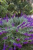 Mexican bush sage 'Purple Velvet' in bloom in a garden