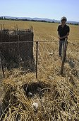 Protection of a litter of ash Harriers in a field France ; Chicks are placed in movable enclosures during the harvest period