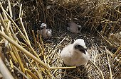 Young Harriers ashy nest in a field of grain France