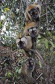 Mayotte Lemurs on a branch Mayotte