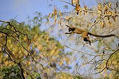 Mayotte lemur jumping from one tree to another Mayotte