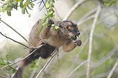 Mayotte lemur eating on a branch Mayotte