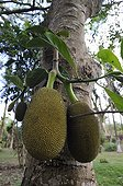 Jackfruit fruit on the tree Mayotte