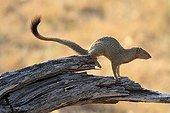 Mangouste rouge sur un tronc dans la savane Botswana