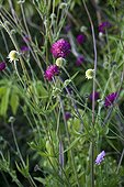 Macedonian scabious in bloom in a garden