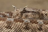 Portrait of Desert Horned Viper on the sand Tunisia