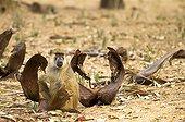 Young Yellow baboon lazing amongst Real Fan Palm leaves
