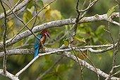 White-throated Kingfisher on a branch Kaziranga NP in India