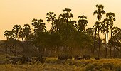 Elephants at dusk along Mwagusi river Ruaha NP Tanzania