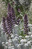Spine acanthus in bloom in a garden ; Landscaper: David Frendo