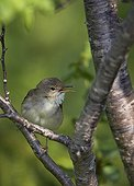 Blyth´s Reed warbler on a branch Estonia