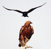 Golden Eagle and Common Raven Utajärvi in Finland