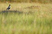 Eurasian Golden Plover on the grass Vaala Finland