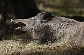 Boar yawning wake up in the undergrowth Centre France