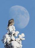 Northern Hawk Owl Kuusamo Finland