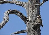 Northern Hawk Owl on a tree at spring Kuusamo Finland