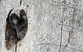 Northern Hawk Owl in its nest at spring Kuusamo Finland
