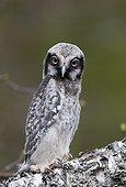 Young Northern Hawk Owl at spring Kuusamo Finland