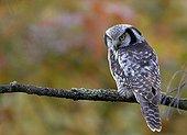 Northern Hawk Owl on a branch Helsinki in Finland