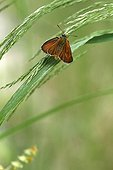 Small Skipper on a grass in a garden France