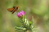 Small Skipper on a thistle in a garden France
