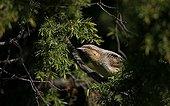 Eurasian Wryneck on a tree at spring Estonia