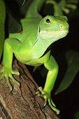 Portrait of a Lau Banded Iguana
