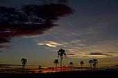 Real fan palms silhouetting against a Cirrus cloud Tanzania