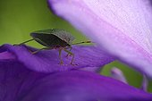 Green stink bug on the petal of an iris in a garden France