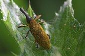 Weevil feeding on Bear's Breech leave in a garden France