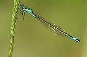 Blue-tailed damselfly on an ear in a garden France