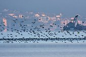 Common pochards flying over Lake Geneva Switzerland
