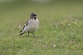 White-winged Snowfinch on ground Picos de Europa Spain