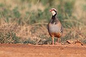 Red-legged Partridge in meadow steppe