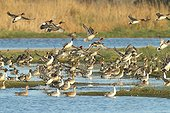 Flight of Pintails and Whistling ducks in winter